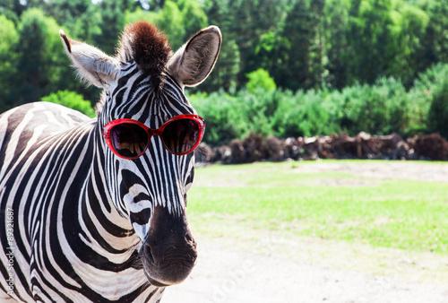 Acrylic Prints Zebra Funny Zebra with sunglasses