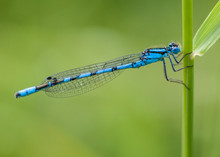Damselfly : Enallagma Cyathig...