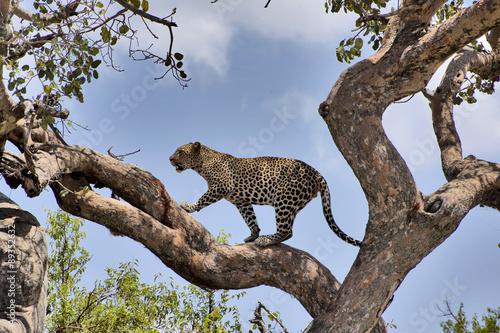 Poster Leopard Leopardo al Serengeti