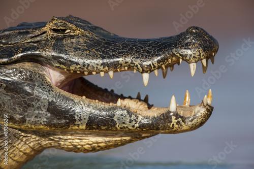 Garden Poster Crocodile Brillenkaiman wärmt sich auf
