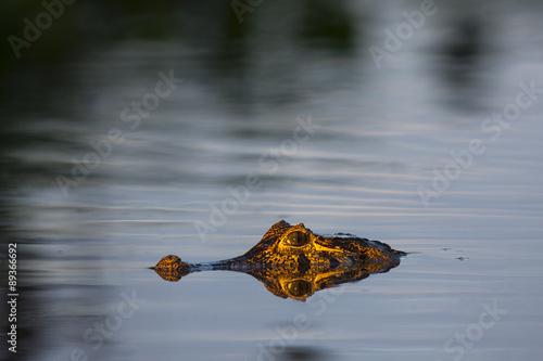 Door stickers Crocodile Brillenkaiman schwimmt im Fluß
