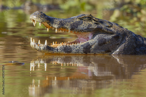 Photo Stands Crocodile Brillenkaiman
