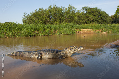 Photo Stands Crocodile Brillenkaiman auf einer Sandbank