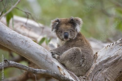 Staande foto Koala Koala sitzt im Baum