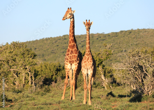 Photo  South African Giraffes