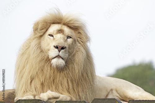 Fotobehang Leeuw Weißes Löwenmännchen Porträt