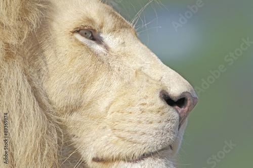 Fototapety, obrazy: Weißes Löwenmännchen Porträt