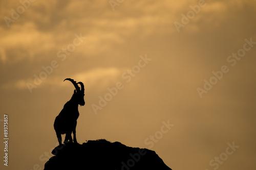Fotografia  Alpensteinbock im Abendlicht
