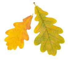 Autumn Oak  Leaves Isolated On White