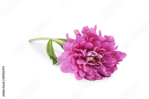 Poster Dahlia Flower pink chrysanthemums on a white background