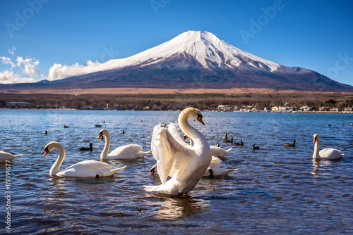 white swan flap wings in yamanaka lake
