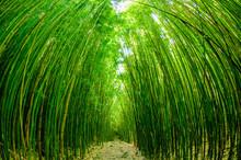 Path Through A Bamboo Forrest On Maui, Hawaii, USA