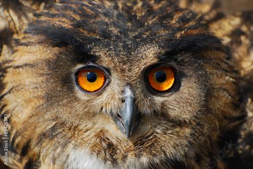 Acrylic Prints Spotted Eagle-owl - Bubo bubo