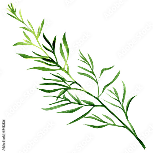 Fototapety, obrazy: fresh tarragon herb isolated on a white background