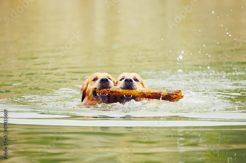 Fotografia  Two dogs in lake