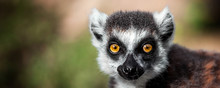 Lemur Looking, Ring-tailed Lem...