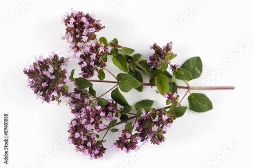 Recess Fitting Lilac Flowering oregano