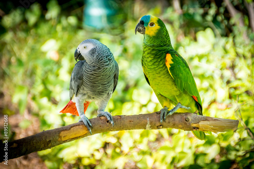 Leinwand Poster African grey parrot and Blue-fronted amazon