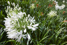White Agapanthus Flower Over A...