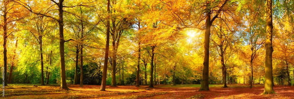 Fototapety, obrazy: Herbst Wald Panorama im goldenen Sonnenschein