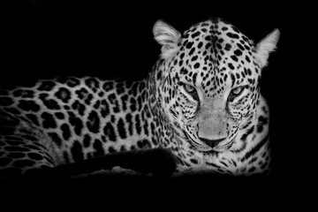 Fototapeta Pantera black & white Leopard portrait isolate on black background