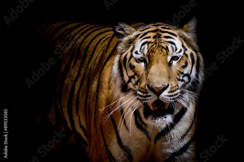 Fotomurales - Close up tiger growl - isolated on black background