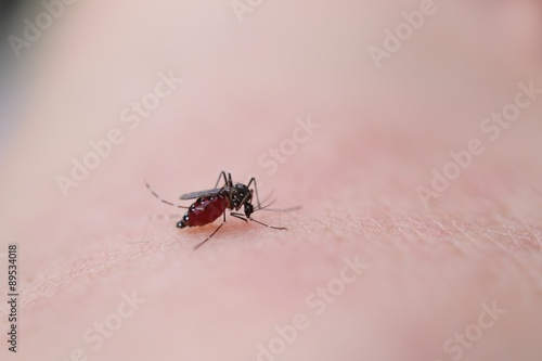 Fotografie, Obraz  人の血を吸う蚊