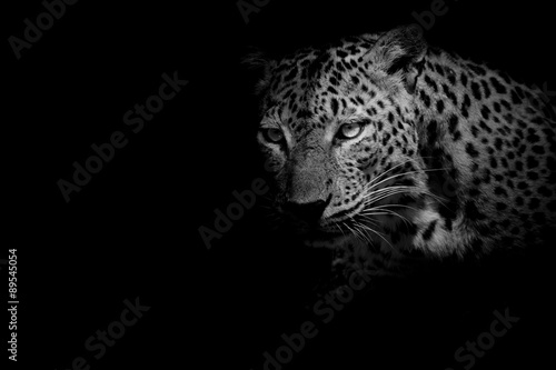 Leopard black & white Leopard portrait isolate on black background