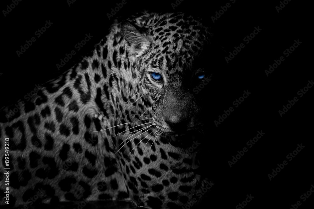 black & white Leopard portrait isolate on black background