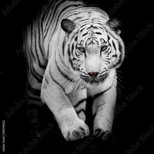 Photo  White tiger jumping isolated on black background