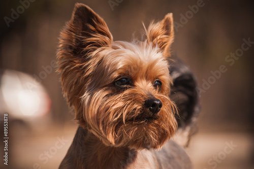 Fototapeta close up Portrait of Yorkshire Terrier dog