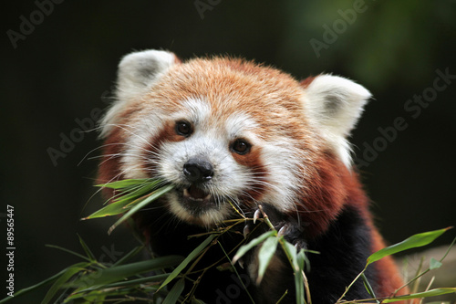 Red panda (Ailurus fulgens). Canvas Print