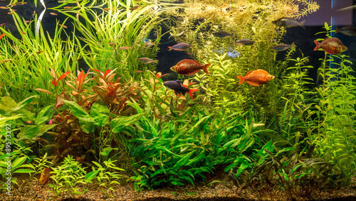 Poster Waterlelies Ttropical freshwater aquarium with fishes