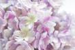 ピンク系のアジサイの花