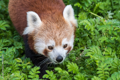 Stickers pour portes Panda Red Panda close up of face