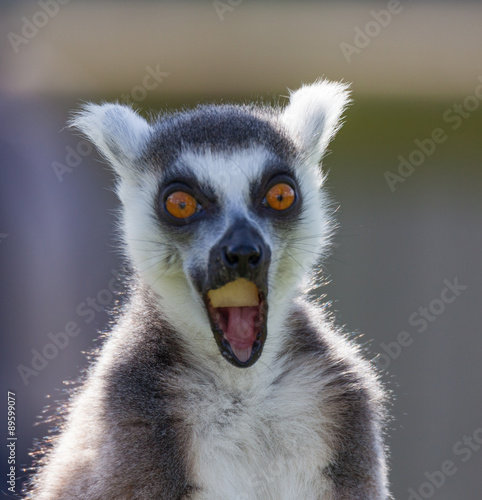 black and white lemur Poster