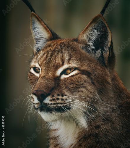 Poster Lynx Siberian lynx