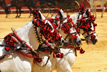Andalusian White Horses