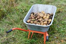 Harvest Potatoes In Wheelbarrow Outdoors