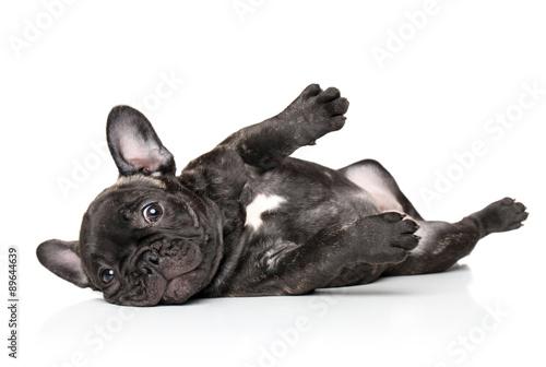 Spoed Fotobehang Franse bulldog French bulldog pup resting