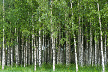 FototapetaGrove of birch trees