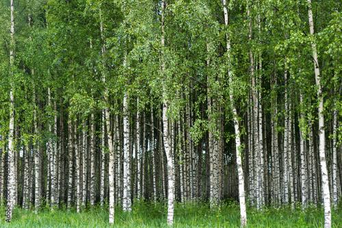 Cadres-photo bureau Bosquet de bouleaux Grove of birch trees