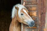 Fototapeta Horses - Haflinger an Stalltür