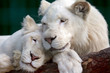lion and lioness gently pressed their heads to each other