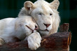 white lion and lioness gently pressed their heads to each other