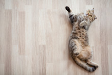 Cat Lying On Parquet Floor Top View