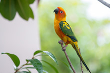 Colorful Yellow Parrot, Sun Conure (Aratinga Solstitialis), Stan