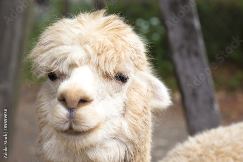 Staande foto Lama close up of alpaca face