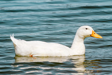 Domestic White Duck Swimming In The Pond