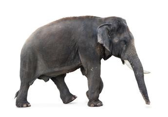 Elephant walking on a white background